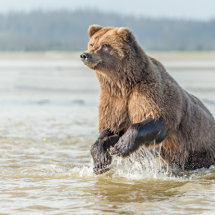 Salmon Fishing Alaska Bears Sept 2014-7036