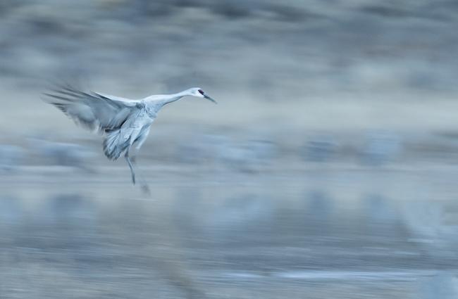 Sandhill Crane Slow Pan landing