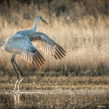 Sandhill Crane Water Lift Off