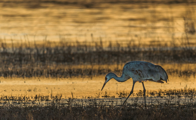 Sandhill Crane in Evenig Light