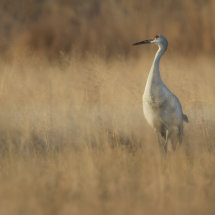 Sandhill Crane in the Grasses