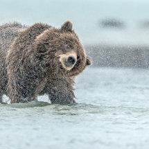 Shake Dry Alaska Bears Sept 2014-5197