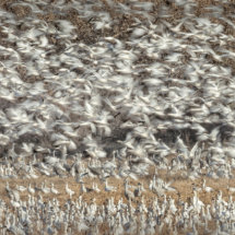 Snow Geese Take Off