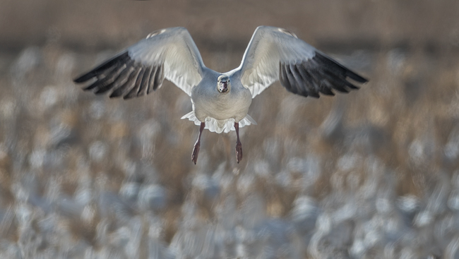 Snow Goose Head On