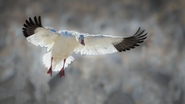 Snow Goose Landing-2
