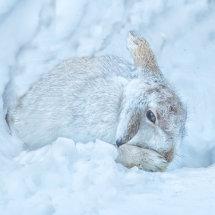 Snow Hare 2