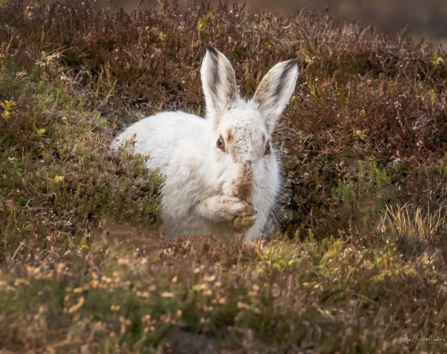 Snow Hare washing 3