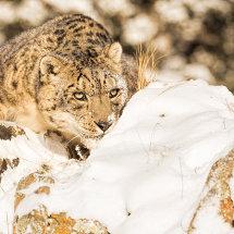Snow Leopard 4