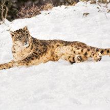 Snow Leopard 7