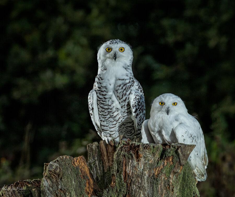 Snowy Owlsl