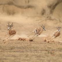 Springbok Madness
