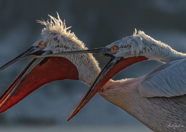 Squabling Pelicans