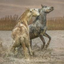 Stallion  Agression