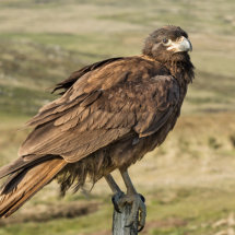Striated  Caracara