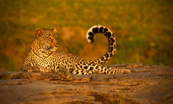 Sunbathing-Leopard-on-Rocks