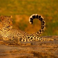 Sunbathing-Leopard-on-Rocks