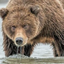 Taking a Drink 2 Alaska Bears Sept 2014-6061
