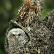 Tawney Owl and Chick