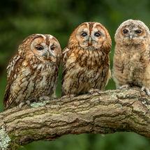 Tawny Owl Family