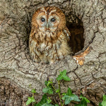 Tawny Owl in Hollow