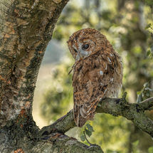 Tawny Owl resting in tree 2