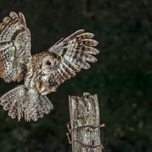 Tawny landing with a mouse