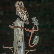 Tawny on an old telegraph pole