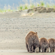 The Long Walk Alaska Bears
