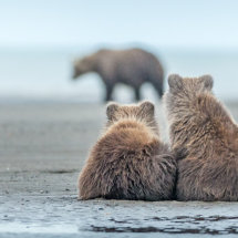 The Threat Alaska Bears Sept 2014-4733