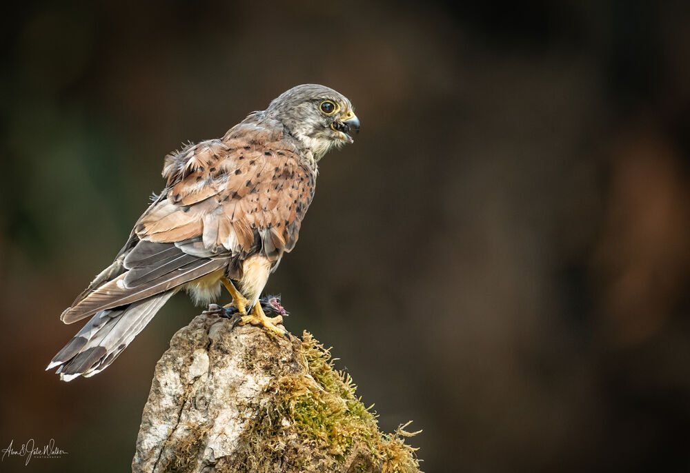 Wild Kestrel eating his mouse