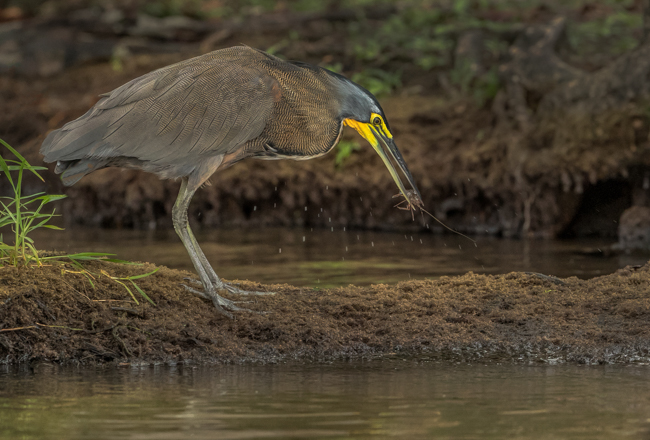 Tiger Heron Catching Crayfish