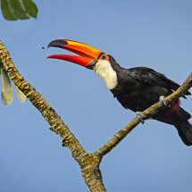 Toucan  Fly  Catcher