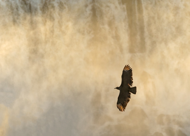 Vultures in the Falls 2