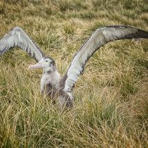 Wandering Albatros Chick