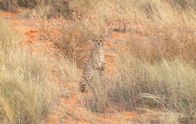 Watching Cheetah