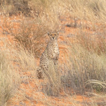 Watching Cheetah