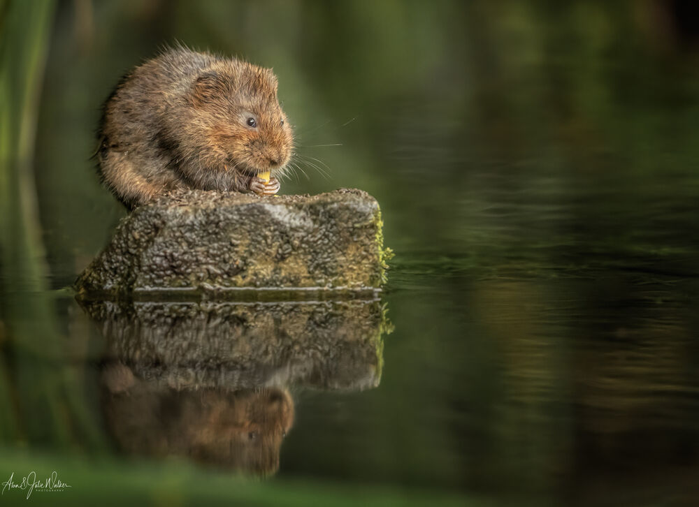 Water Vole nibbling