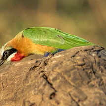 White Fronted Bee Eater killing Dragon Fly