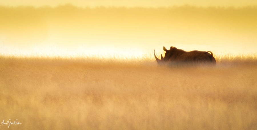 White Rhino in early morning light 2-2