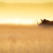 White Rhino in early morning light 2-2