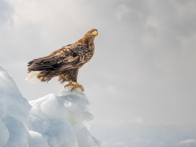 White Tailed Eagle on Sea Ice