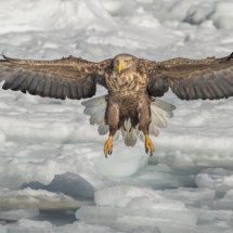 White Tailed Sea Eagle Landing