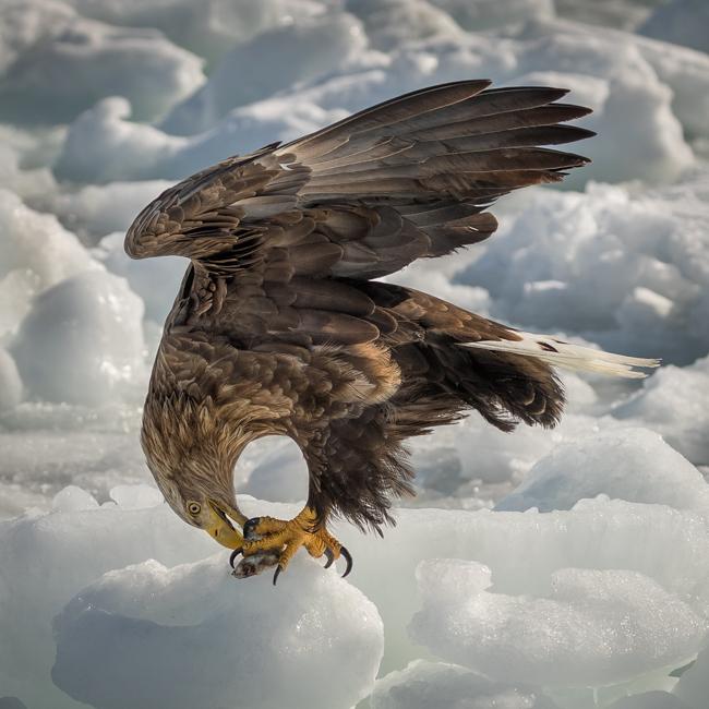 White Tailed Sea Eagle feeeding