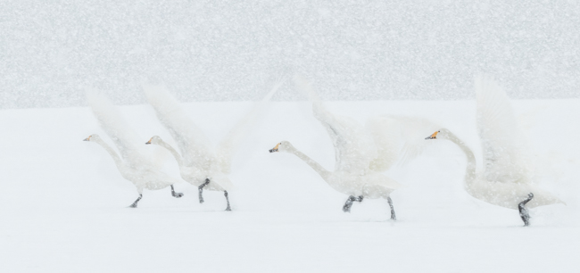 Whooper Take Off in Snow