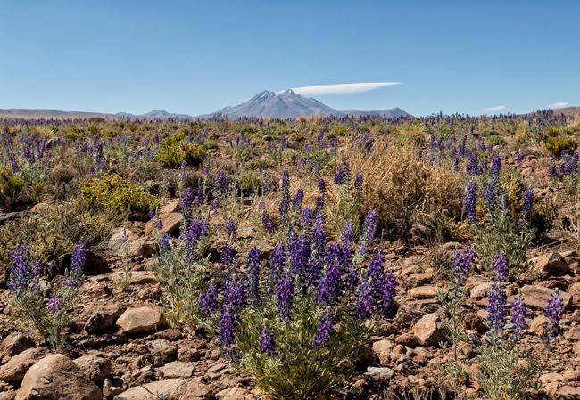 Wild Flowers in the Atacama 2