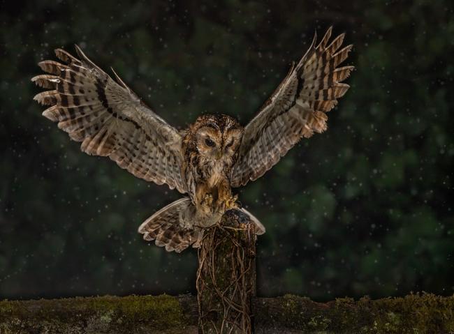 Wild Tawney Owl Landing