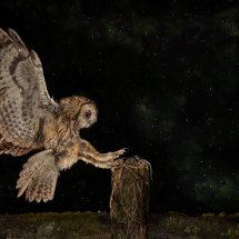 Wild Tawney Owl Landing 2