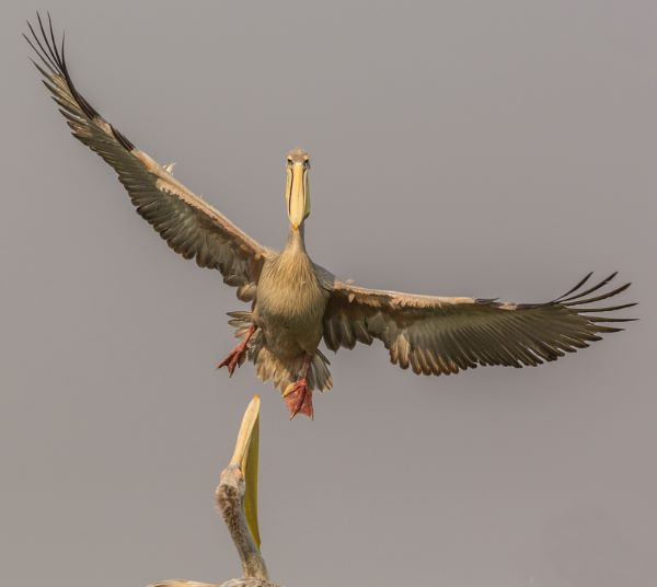 Yellow Billed Pelican Landing