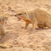 Yellow Mongoose Confrontation-2