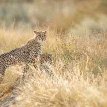 Young Cheetahs